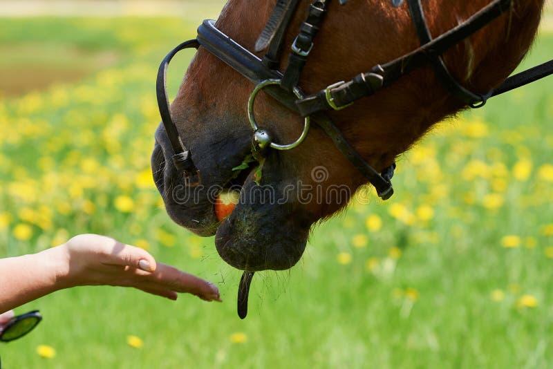 Le cheval de châtaigne mange la pomme photographie stock