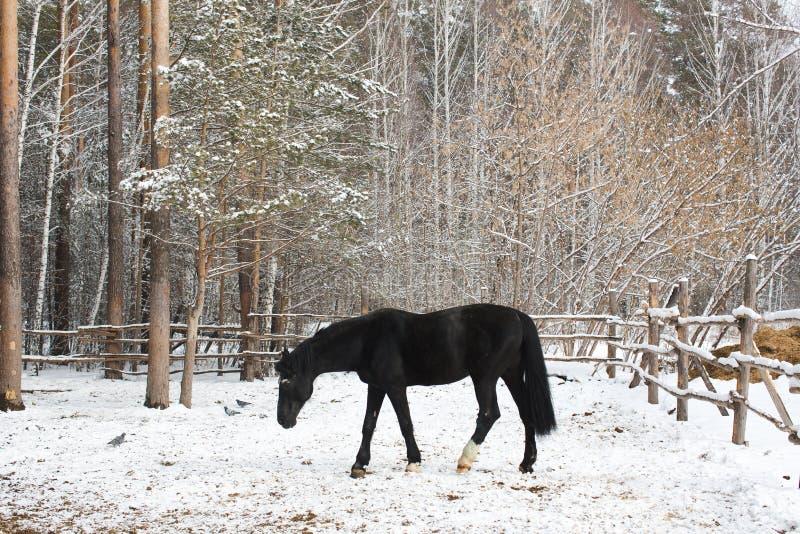 Le cheval de corneille dans la neige photo stock
