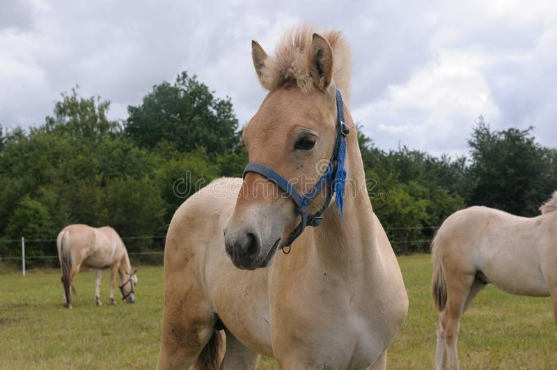 Le cheval de fjord ou cheval norvégien de fjord - poulain photo libre de droits