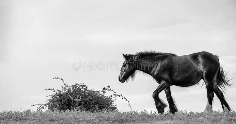 Le cheval de Shire marche lourdement vers Bush en noir et blanc photos stock