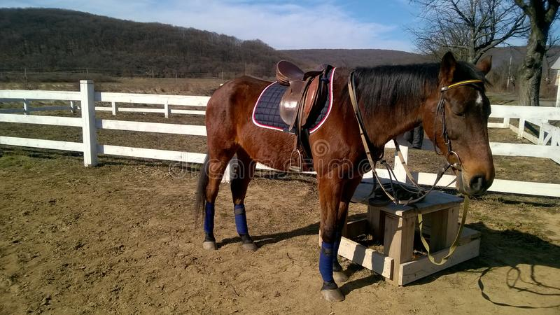 Le cheval de sport avant la formation attend le cavalier photo libre de droits