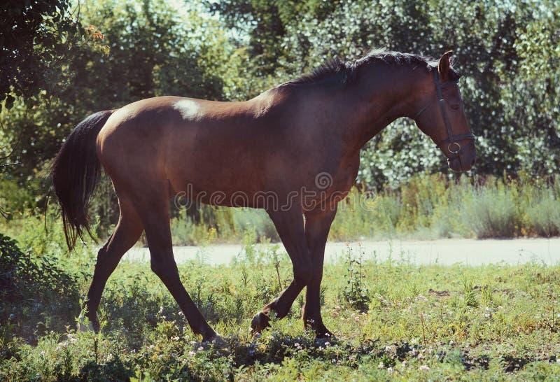 Le cheval de sport de baie va étape sur la liberté en été images stock