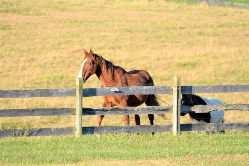 Le cheval et le poney apprécient des gambades autour de la clôture de pâturage de montagne photos stock
