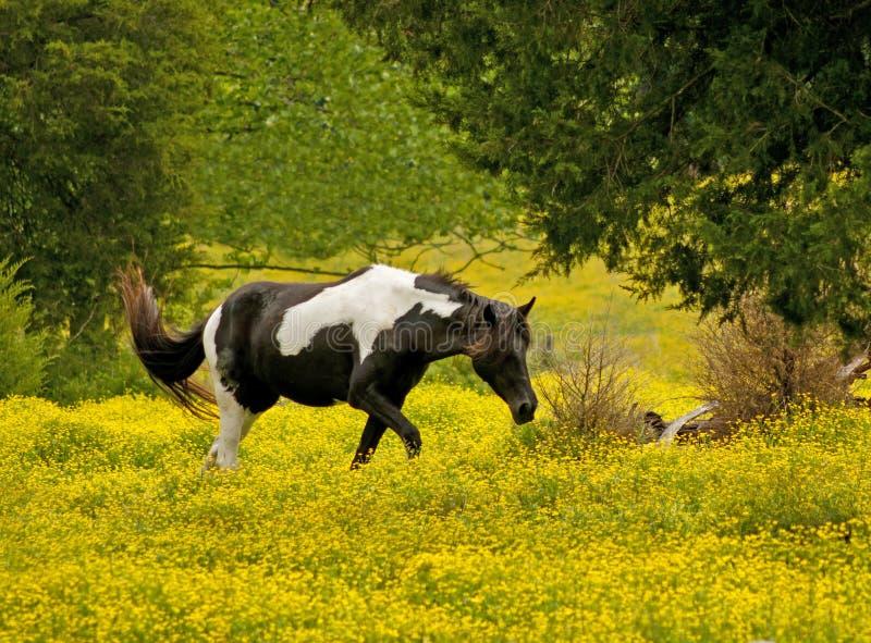 Le cheval flâne par un champ des fleurs jaunes. images libres de droits