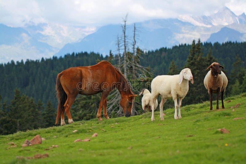 Le cheval frôle entre les moutons dans le pré avec le landescape de montagne à l'arrière-plan images stock