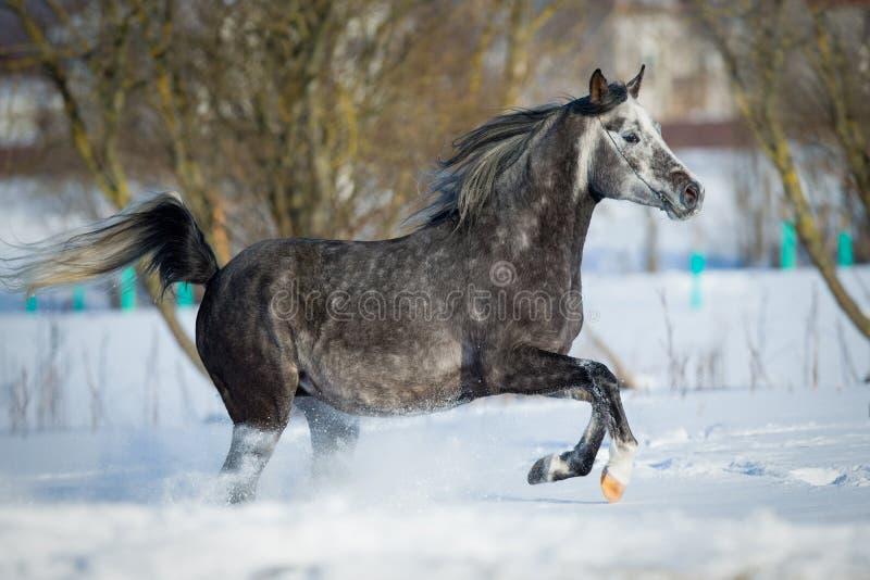 Le cheval gris galope à l'arrière-plan d'hiver image libre de droits