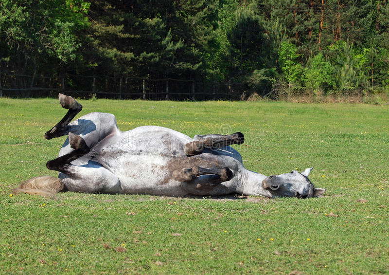 Le cheval gris roule sur une herbe photos stock