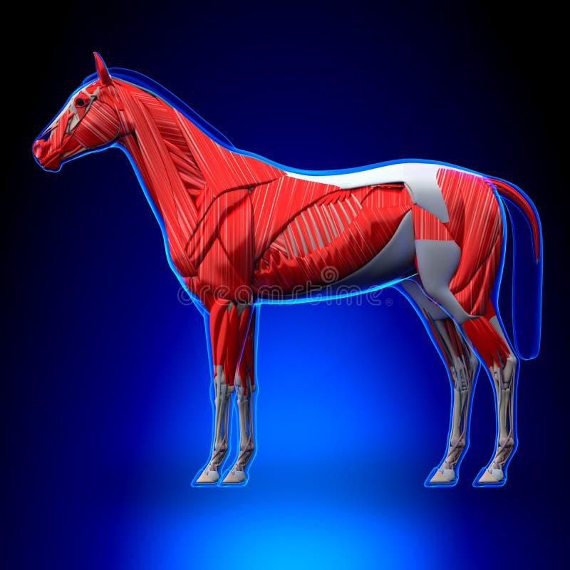 Le cheval Muscles - anatomie d'Equus de cheval - sur le fond bleu illustration stock