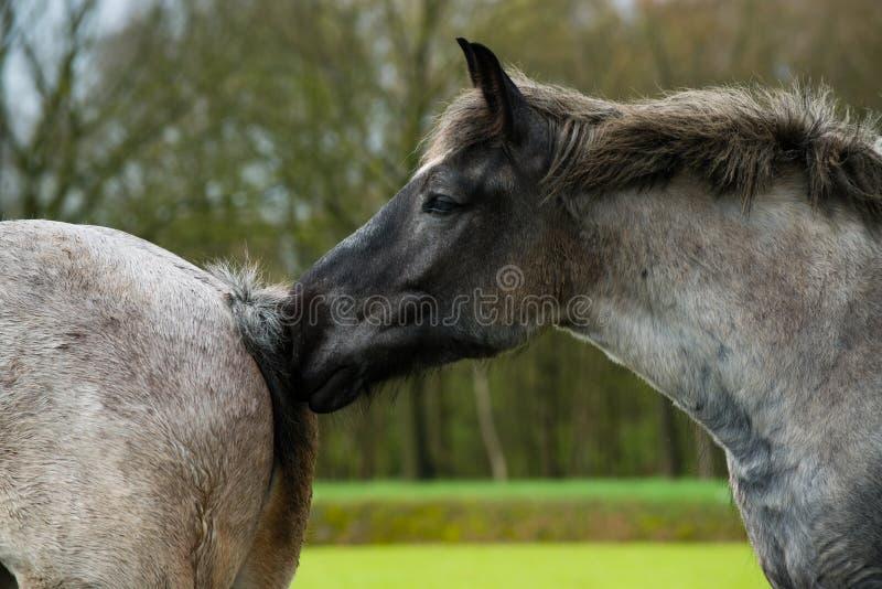 Le cheval renifle photos stock