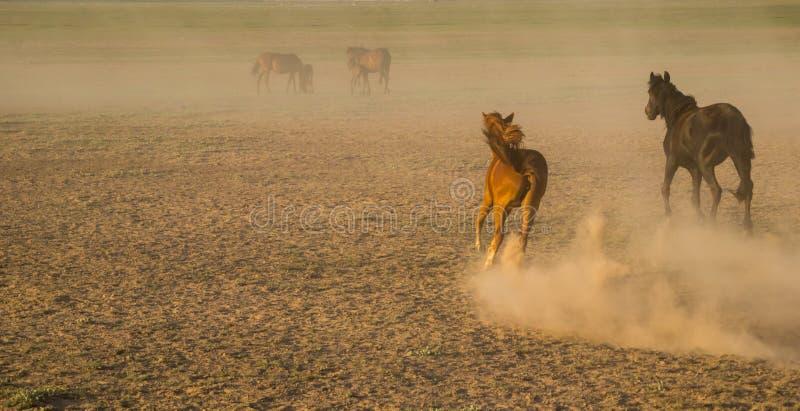 Le cheval sauvage vit en troupe le fonctionnement dans le roseau, kayseri, dinde photo stock