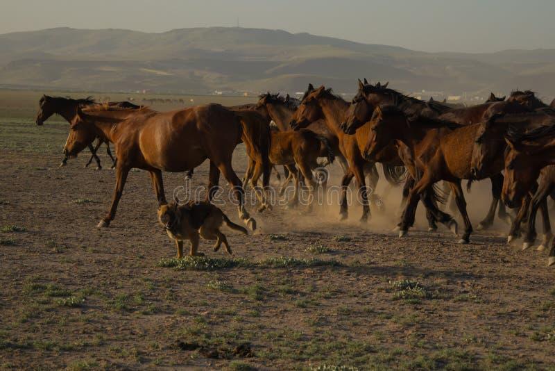 Le cheval sauvage vit en troupe le fonctionnement dans le roseau, kayseri, dinde images libres de droits