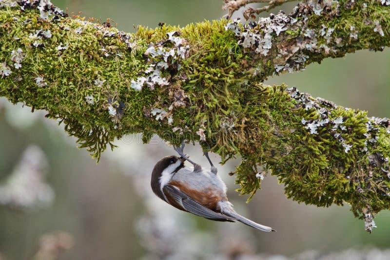 le chickadee soutenu par la châtaigne pend de la mousse sur le dessous d'un chêne pendant qu'il recherche la nourriture photo stock