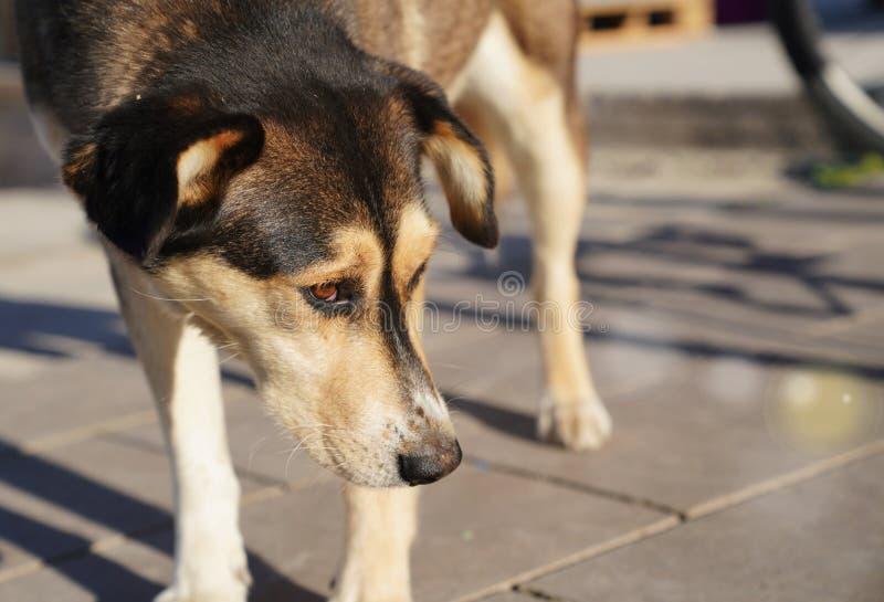 Le chien égaré regarde autour désespérément sous le soleil images stock