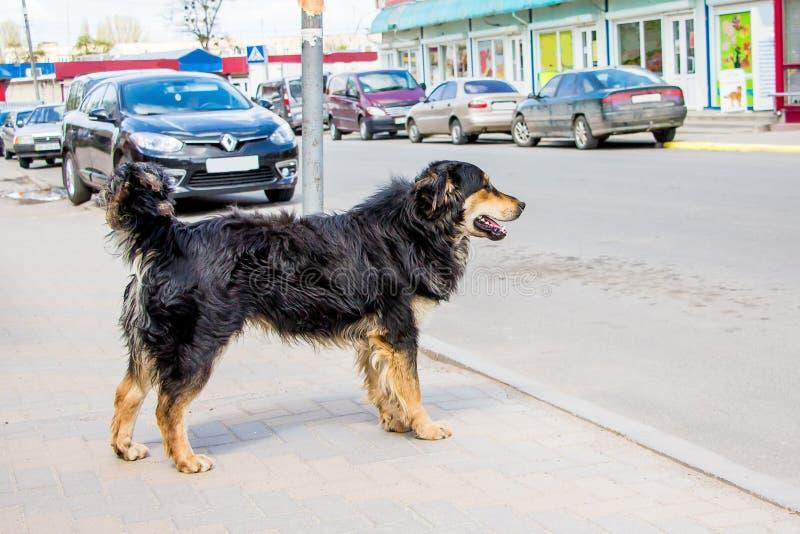 Le chien égaré veut traverser la rue de la ville par laquelle des voitures photographie stock libre de droits