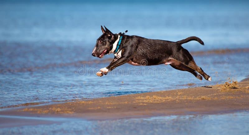 Le chien anglais miniature de bull-terrier saute en surface photo libre de droits