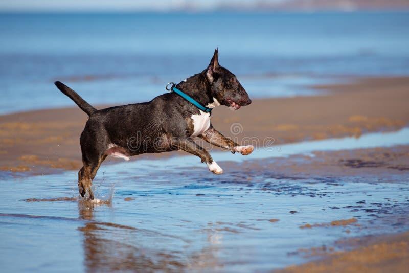 Le chien anglais miniature de bull-terrier saute en surface photographie stock