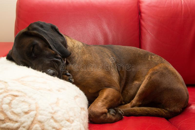 Le chien bavarois s'étend comme un humain image libre de droits