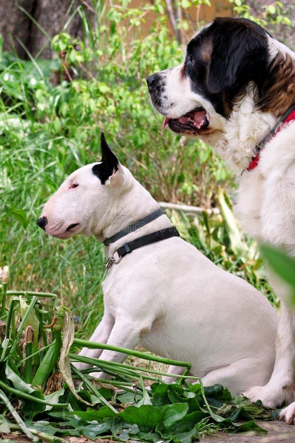 Le chien blanc de bull-terrier anglais et le chien de St Bernard pose dans le jardin, le portrait d'animaux, les beaux arbres ver photographie stock libre de droits