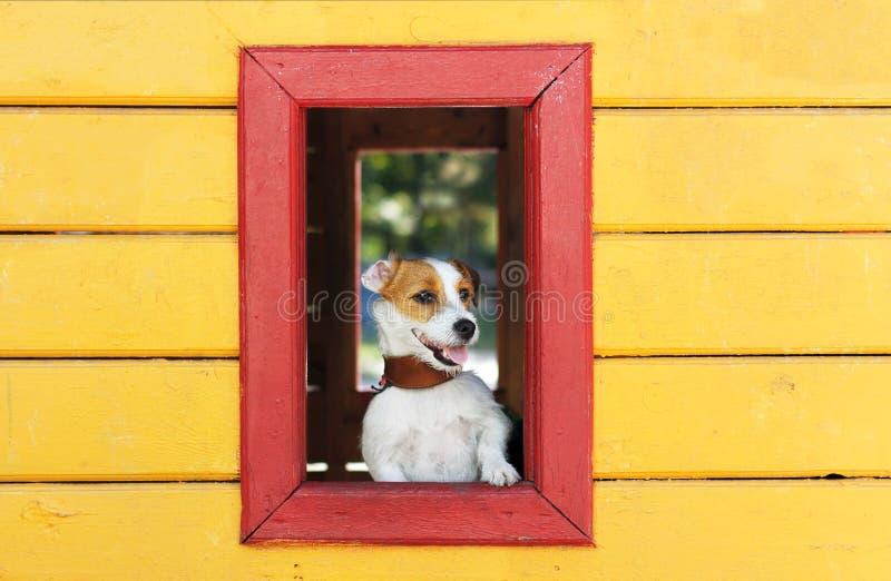 Le chien blanc drôle regarde hors de la fenêtre d'une maison jaune de jouet images stock