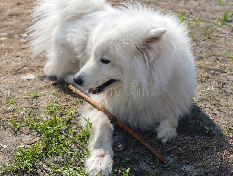 Le chien blanc pelucheux Laika se trouve avec un bâton photo libre de droits