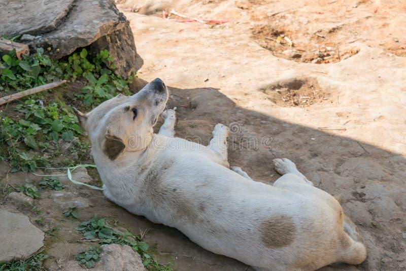 Le chien blanc se couche au sol image libre de droits