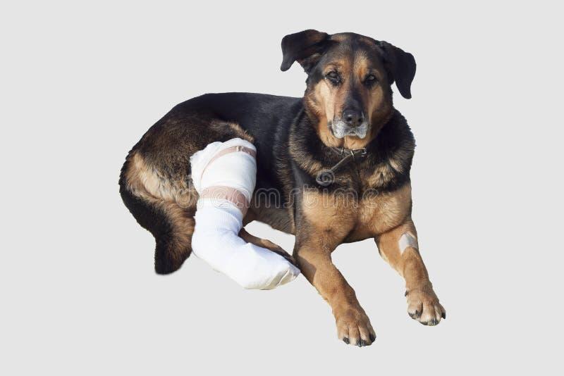 Le chien blessé, une jambe cassée, chien observe photos libres de droits