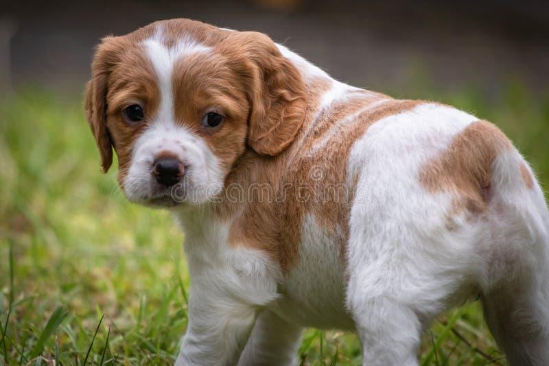 Le chien brun et blanc mignon et curieux de bébé d'épagneul de Bretagne, portrait de chiot a isolé explorer photographie stock