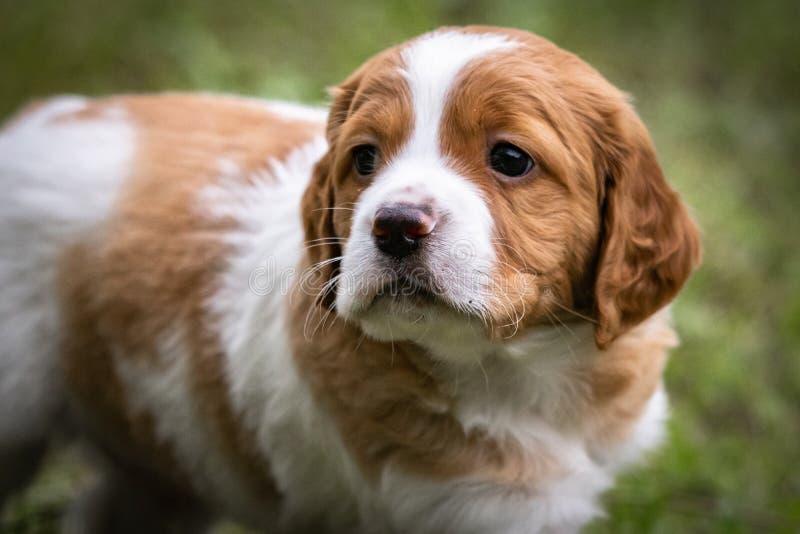 Le chien brun et blanc mignon et curieux de bébé d'épagneul de Bretagne, portrait de chiot a isolé explorer image stock