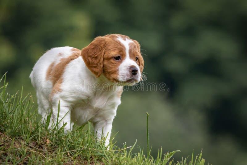 Le chien brun et blanc mignon et curieux de bébé d'épagneul de Bretagne, portrait de chiot a isolé explorer dans le pré vert avec photo stock