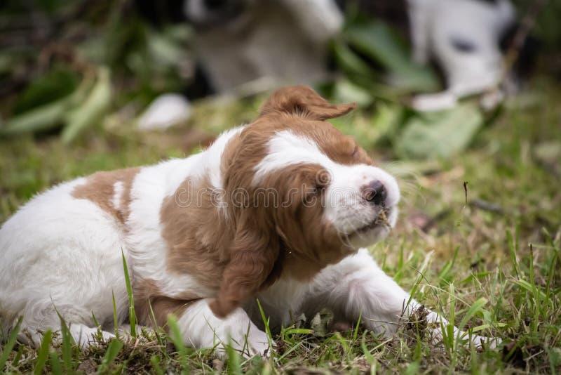 Le chien brun et blanc mignon et curieux de bébé d'épagneul de Bretagne, portrait de chiot a isolé le jeu photo stock