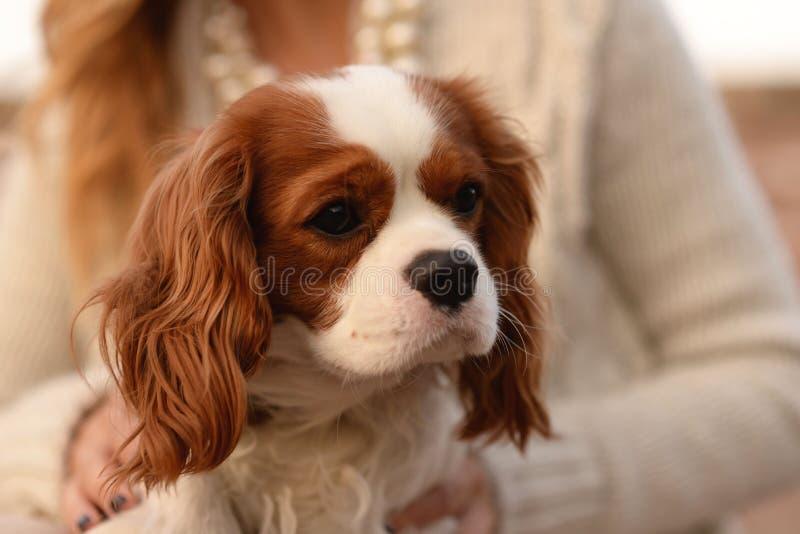 Le chien cavalier du Roi Charles Spaniel se repose sur le recouvrement d'une femme image libre de droits