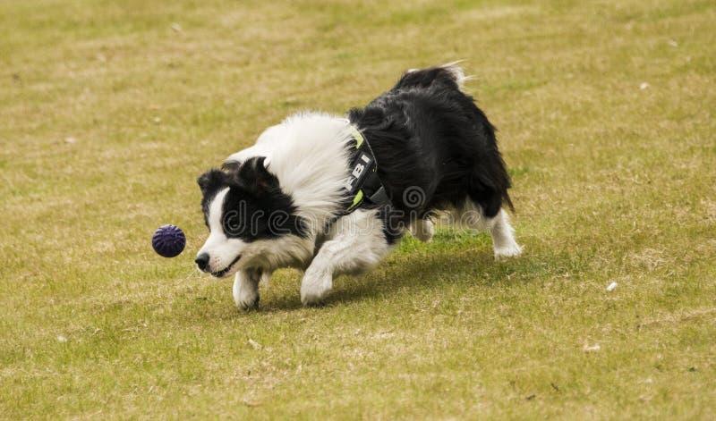 Le chien chasse la boule bleue dans un moment photographie stock