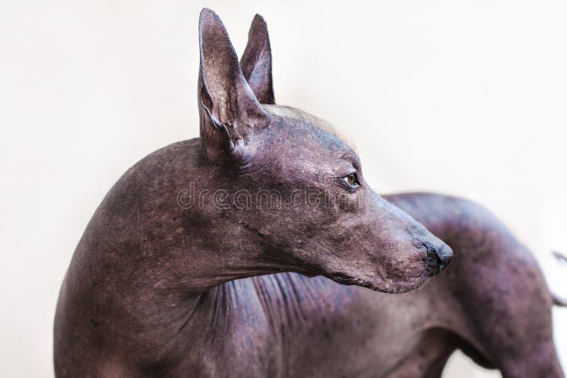Le chien chauve mexicain de Xoloitzcuintle de belle race de chien image libre de droits