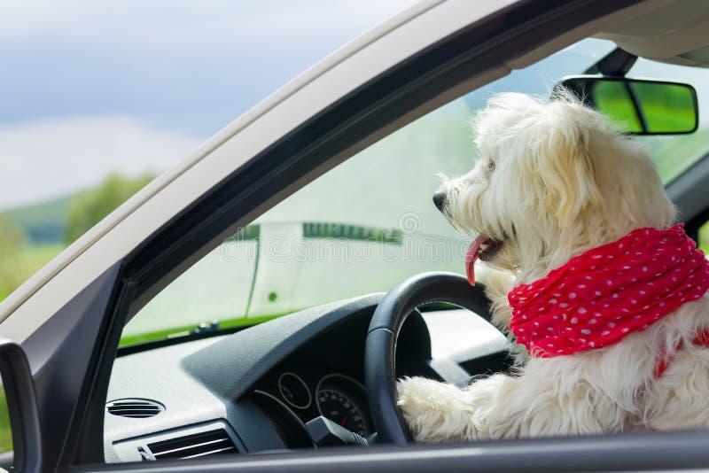 Le chien conduisant volant dedans une voiture image stock