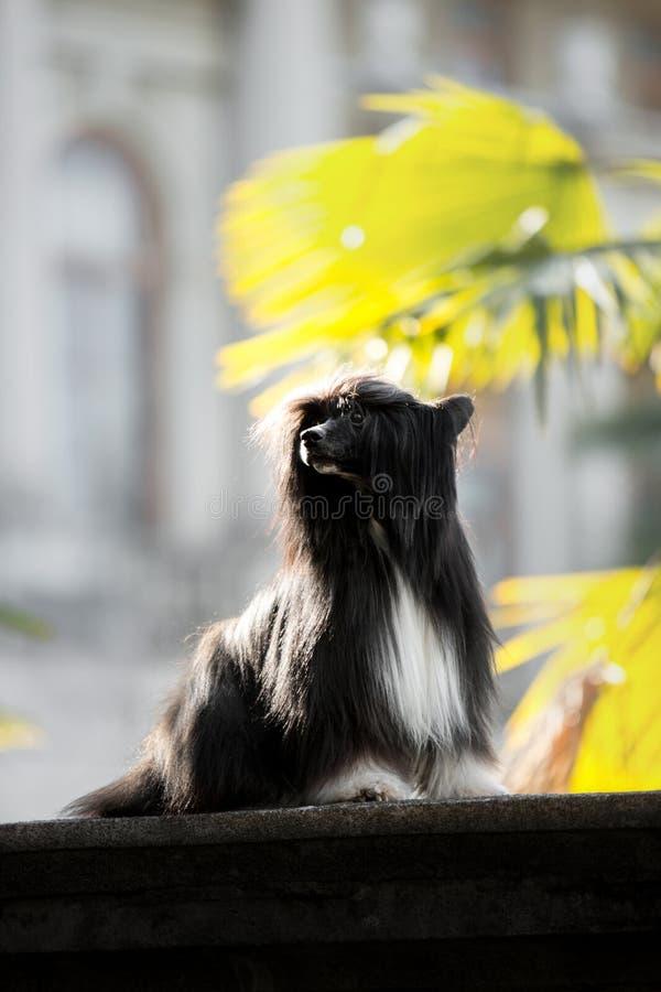 Le chien crêté chinois est sur la terre parc et fleur verts sur le fond photo libre de droits