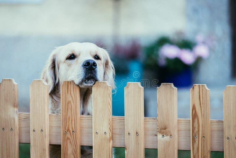 Le chien curieux regarde au-dessus de la barrière de jardin images stock