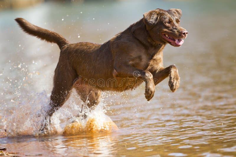 Le chien d'arrêt de Brown Labrador saute dans l'eau photo stock