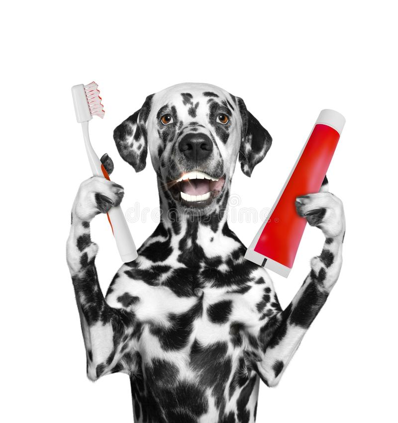 Le chien dalmatien mignon nettoient les dents avec une brosse à dents D'isolement sur le blanc images stock