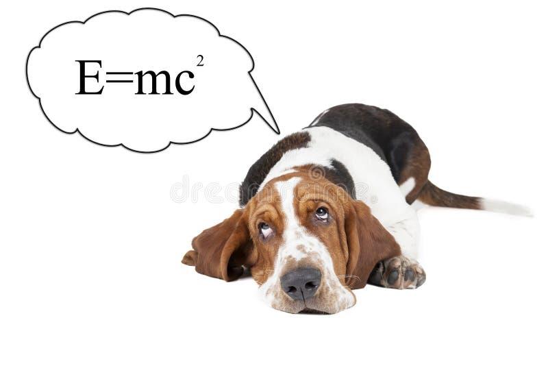 Le chien de basset pense à la théorie de relativité photographie stock libre de droits