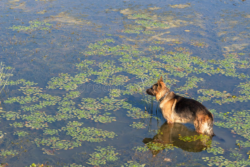 Le chien de berger allemand (chien de berger de l'Europe de l'est) se tient dans l'eau du lac et examine la distance images libres de droits