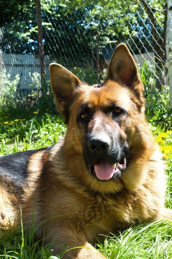 Le chien de berger allemand se situe dans le jardin du repos photo stock