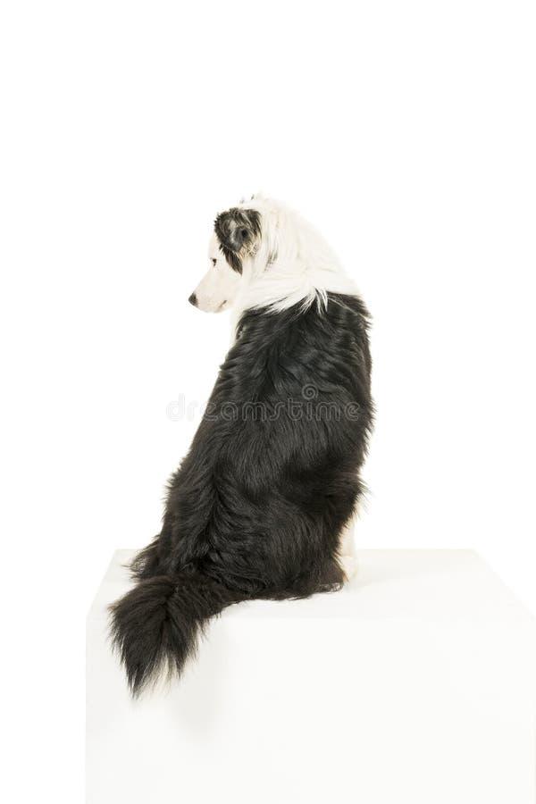 Le chien de berger australien à l'arrière-plan blanc de retour a tourné le regard de côté image libre de droits