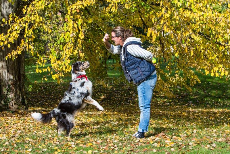 Le chien de berger australien obtient l'éducation image libre de droits