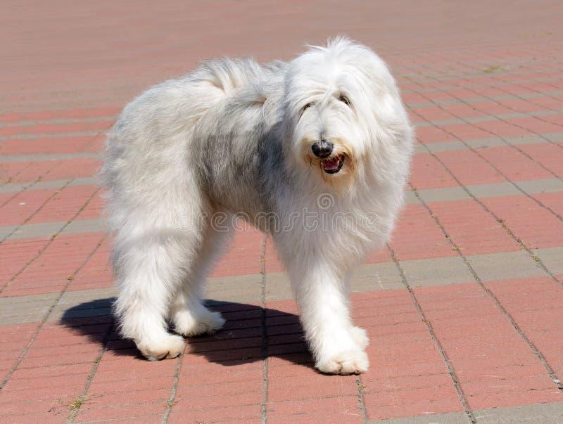 Le chien de berger russe du sud regarde de côté photo stock