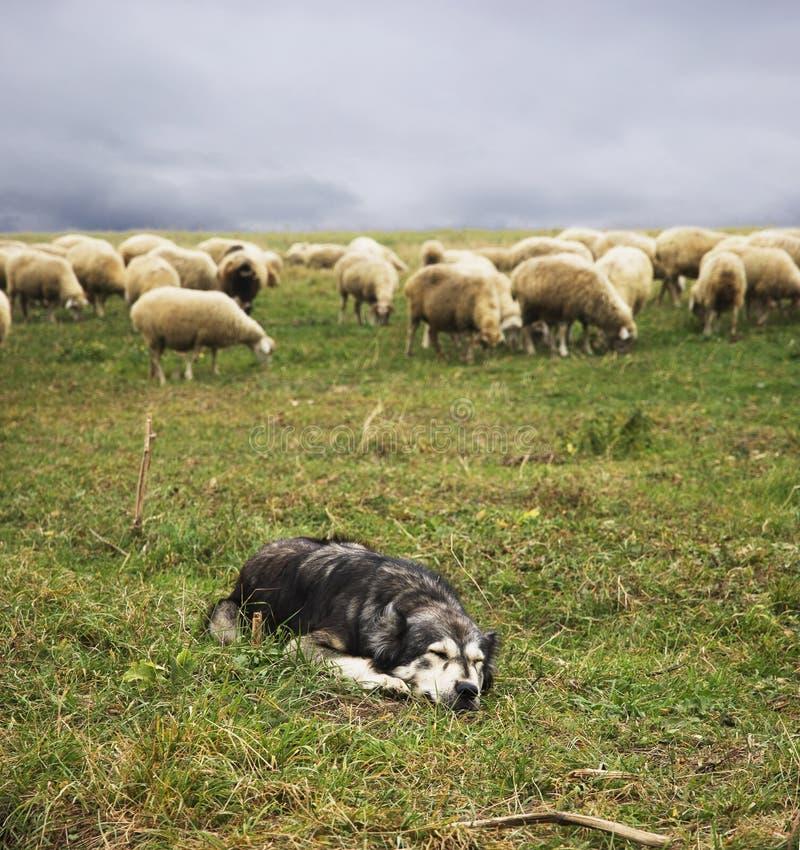Le chien de berger se trouve sur le fond du troupeau de moutons photographie stock