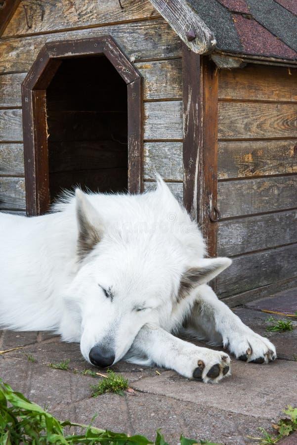 Le chien de berger suisse se repose près de la cabine photos libres de droits