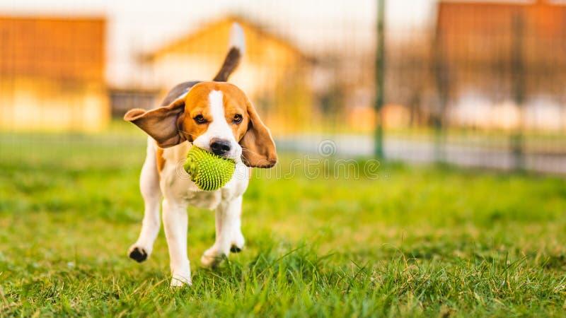 Le chien de briquet fonctionne dans le jardin vers la caméra avec la boule verte photos libres de droits