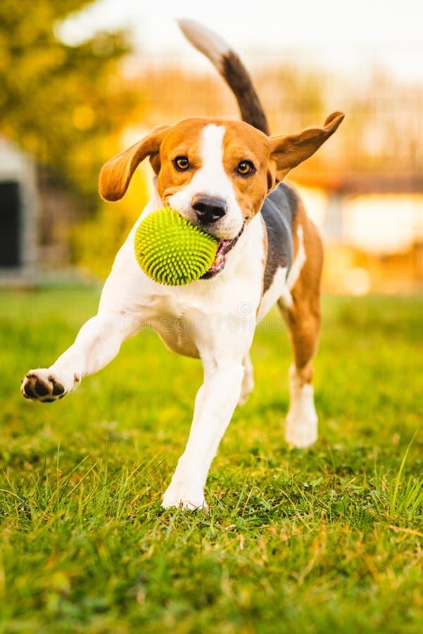 Le chien de briquet fonctionne dans le jardin vers la caméra avec la boule verte photo stock