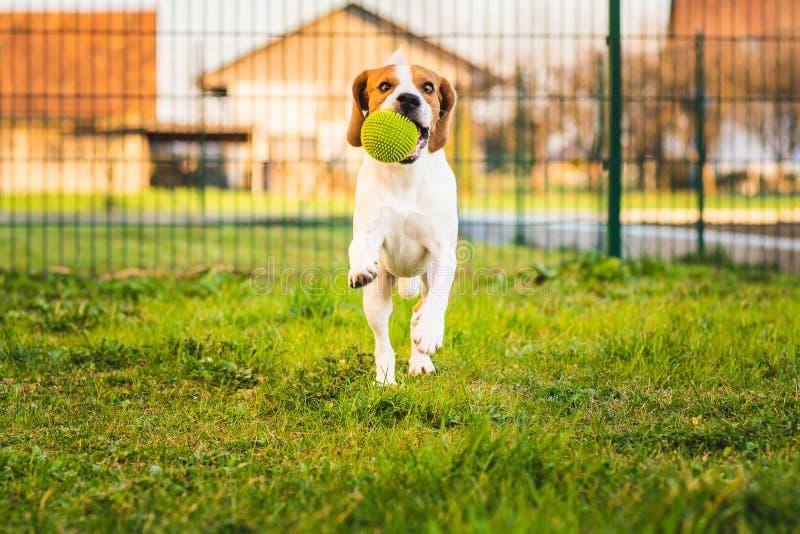 Le chien de briquet fonctionne dans le jardin vers la caméra avec la boule verte photo libre de droits