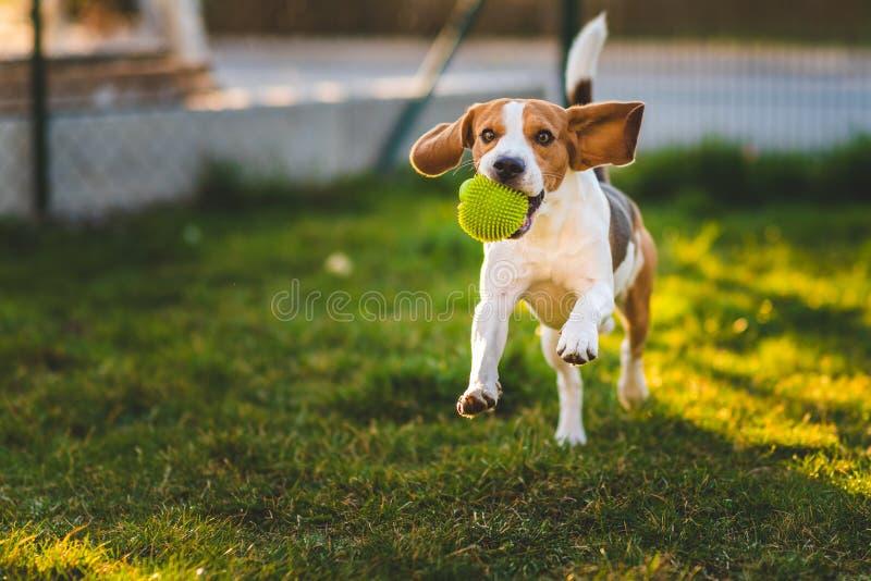 Le chien de briquet fonctionne dans le jardin vers la caméra avec la boule verte images libres de droits